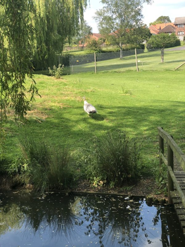 White peacock Swan sanctuary